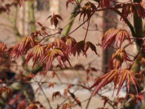 Aceri Acer palmatum