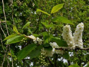 Prunus padus Pado