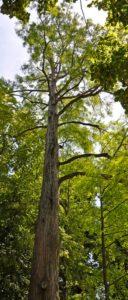 Taxodium disticum
