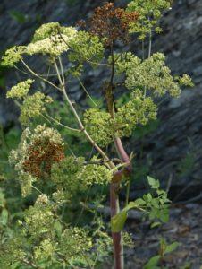 Tommasinia altissima