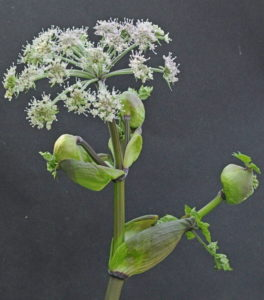 Angelica sylvestris