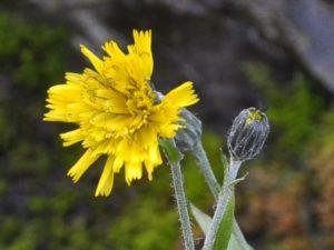Sparviere Hieracium amplexicaule