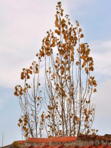 Populus tremula (if winter comes)