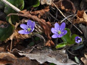 Hepatica nobilis nel bosco