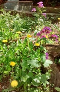 Giardino : Lunaria Taraxacum