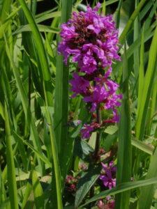 Lythrium salicaria