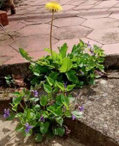 Giardino : Viola odorata