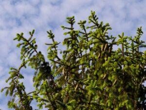 Peccio Picea abies