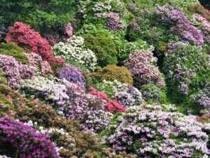 Rhododendron - parco Burcina (Biella)