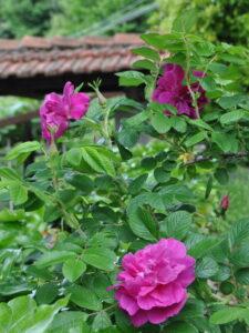 Maggio Rosa rugosa