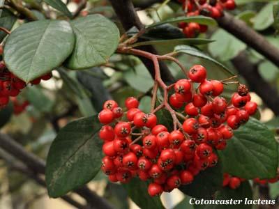 Piante con bacche rosse excellent tasso with piante con for Pianta ornamentale con bacche rosse