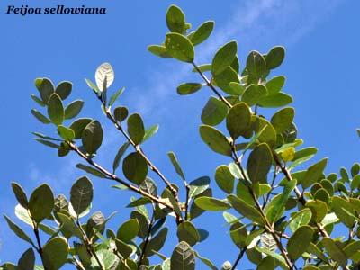 Fiori e foglie for Pianta feijoa