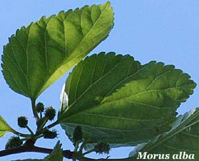 Fiori e foglie for Gelso pianta