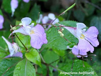 Fiori e foglie for I fiori della balsamina