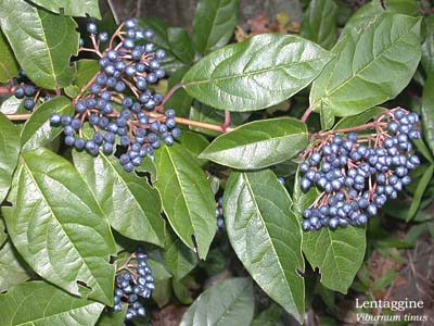Fiori e foglie for Pianta rampicante con fiori viola a grappolo