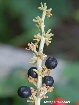 Fiori e foglie for Pianta ornamentale con fiori a grappolo profumatissimi