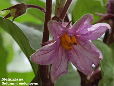 Fiori e foglie for Melanzane innestate