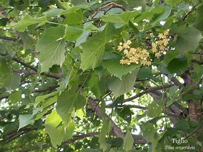Fiori e foglie for Tiglio albero