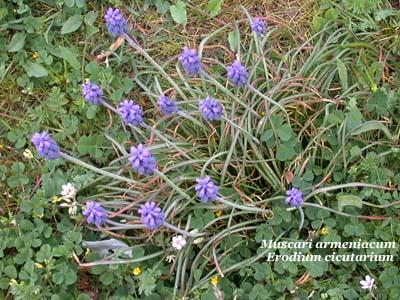 muscari armeniacum _ erodium cicutarium
