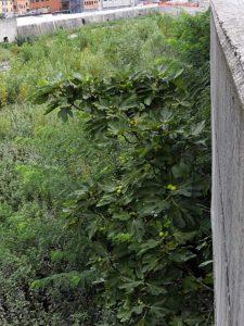 Ficus carica - Bisagno