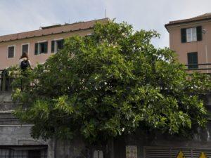 Ficus carica - piazza Sturla