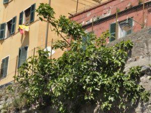 Ficus carica - via Quadrio