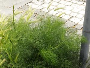 Hordeum murinum & Foeniculum vulgare