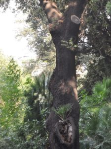 Quercus ilex & Chamaerops humilis