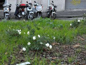 Rose bianche in piazza Emporio