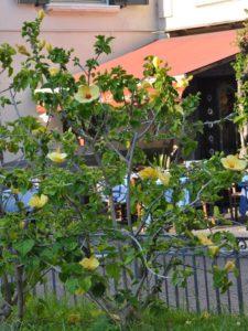 Ibisco giallo - Hibiscus rosa sinensis
