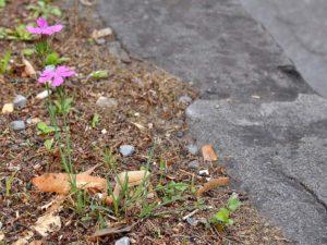 garofano selvatico <em>Dianthus longicaulis</em>