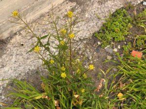 piante da cantiere Sisymbrium erysimoides