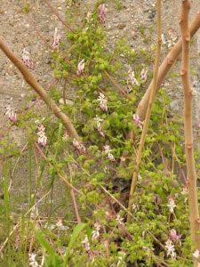 piante da cantiere Fumaria capreolata