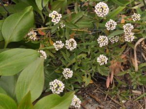 piante da cantiere Lobularia maritima