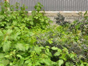 piante da cantiere Urtica dioica Pistacia lentiscus