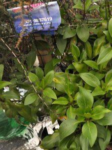 piante da cantiere Valeriana e asparago