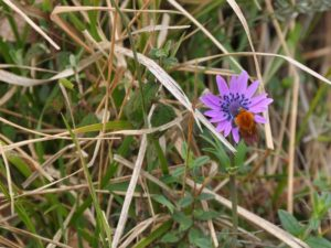 Anemone hortensis sulla strada di casa