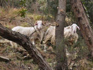 Pecore sulla strada di casa