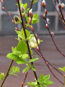 Salicone Salix caprea