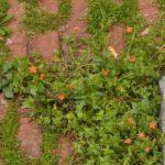 Salita degli Angeli - Anagallis arvensis