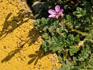 Becco di gru comune Erodium cicutarium