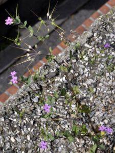 Becco di gru Erodium malacoides