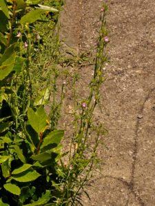 Gallinetta Misopates orontium