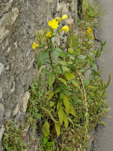 Oenothera biennis