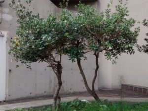 <em>Osmanthus fragrans</em>