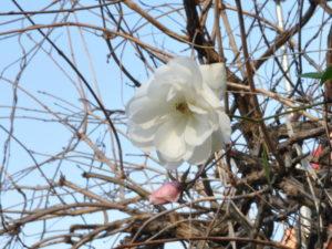 Stagioni - Rosa d'inverno