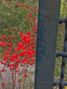 Cotogno da fiore