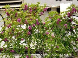 Robinia rosa