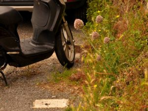 altra strada di casa Allium ampeloprasum