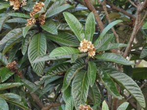 Eriobotrya japonica - nespolo del Giappone